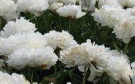 whitepeon.jpg
